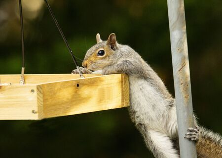 Squirrel attempts to move from pole to bird seed tray.