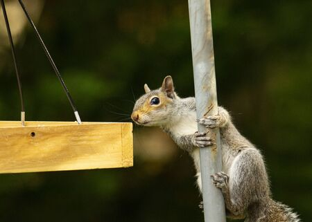 Squirrel eyes seeds in bird feeder while clinging to small pole.