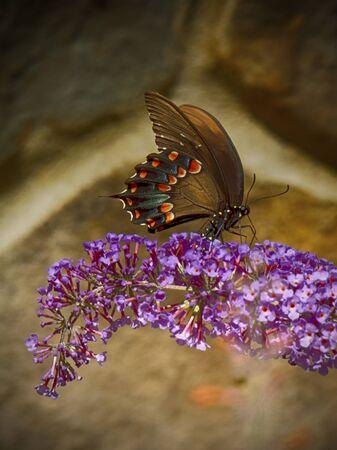 Spicebush Swallowtail butterfly feeds on butterfly bush.
