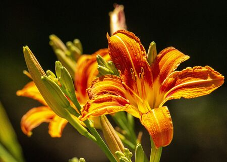 Orange crenelated day lily glows brightly in the sunshine.