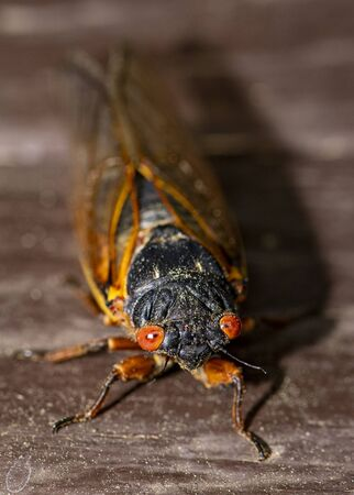 Head on view of Brood IX 17 year cicada with red orange eyes.