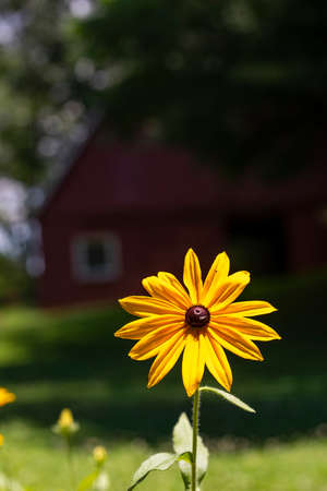 Large Black-eyed Susan bloom in bright summer sun