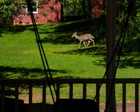 White-tailed deer emerges from the woods near a red barn into a bright spring afternoon.