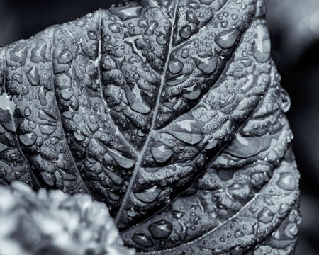 Highly textured monochrome view of hydrangea leaf with beads of rain. 版權商用圖片