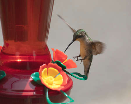 Female ruby-throated hummingbird appears to be be hovering on its tails at a feeder.