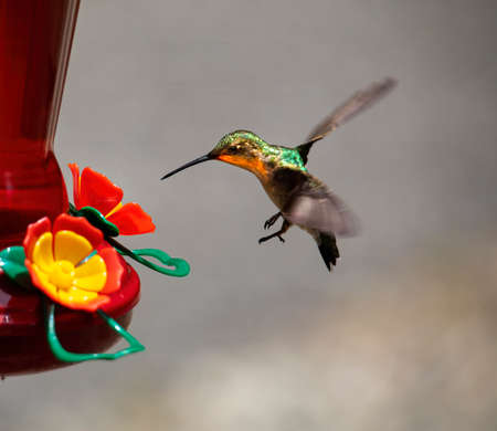 Hummingbird approaches feed for nectar. 版權商用圖片