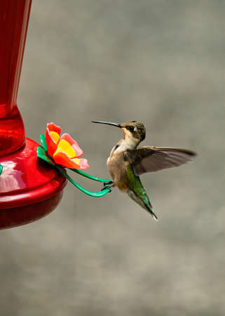 Hummingbird perches on feeder rest. 版權商用圖片
