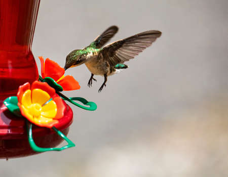 Hummingbird feeds while hovering.