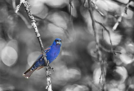 Mature male blue grosbeak perched on small limb of apple tree. Monochrome with color splash.