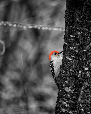 Monochrome view with red color splash of male red-bellied woodpecker clings to a tree trunk in an icy woodland area. 版權商用圖片