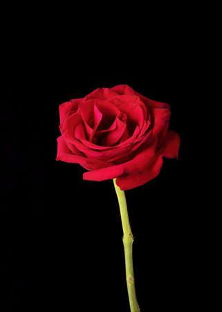 A single American Beauty rose blossom is pictured against a black background.