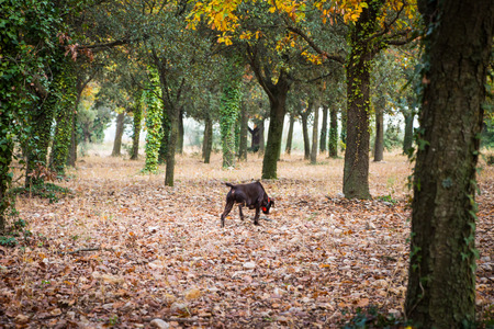 Dog searches for Burgundy truffles in a oak tree forest during Autumn. Picture taken in provence, France