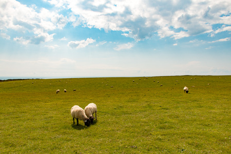 Sheep grazing in a meadow near the Seven Sisters Cliffs, Seaford, U.K. Stock Photo