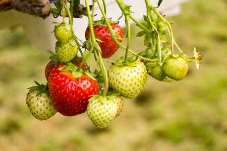 Strawberries growing at  the Parkside farm, where you can go and pick them yourself. Stock Photo