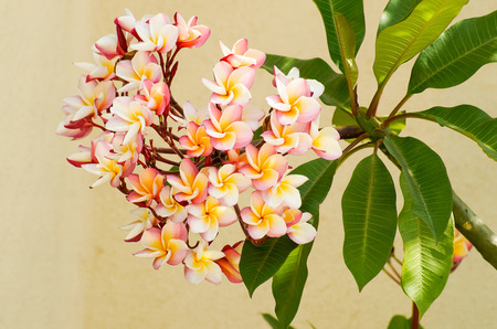 mayflower: May Flowers blooming on a tree branch with leaves in colors white orange and purple.