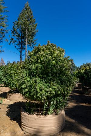 Cannabis or marijuana plantation growing outdoors Stok Fotoğraf