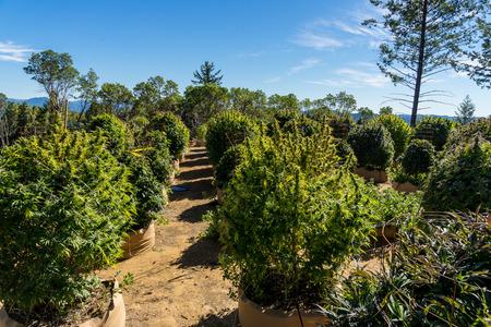 Cannabis or marijuana plantation outdoors.