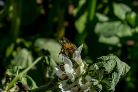 Bee standing in a bean plant sucking its flowers. Macro. Close up.