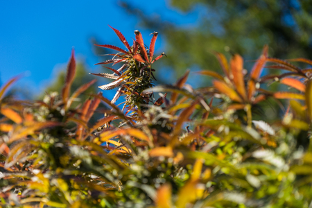 Cannabis or marijuana bud growing outdoors. Macro. Close up.