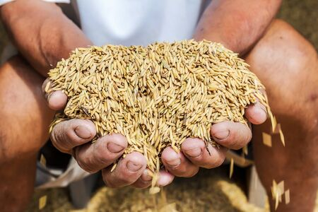 Close Up raw rice or paddy in farmer s hand. Stock Photo