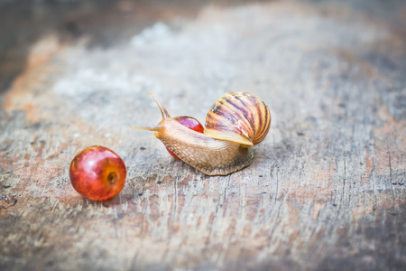 grape snail: Snail with grape on old wooden table.