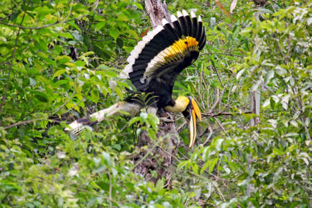 Kaeng Krachan 국립 공원 - 2017 년 7 월 : 그레이트 Hornbill은 hornbill 가족의 큰 구성원 중 하나이며 재조림의 주요 기여자처럼 보입니다.