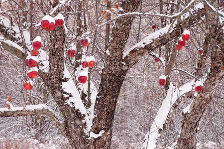 Apple tree after fresh snowfall
