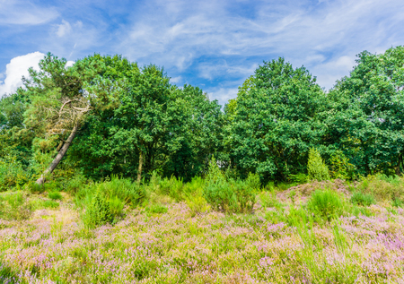 Meadow heather plants with trees and blue sky real beauty landscape Archivio Fotografico