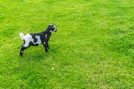 young small black and white little goat standing in the pasture Stock Photo