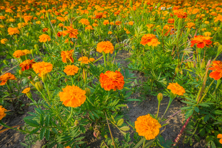big field of orange and red marigold flowers in close up