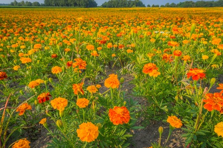 huge field of red and orange marigold flowers in macro close up Banque d'images - 107560811