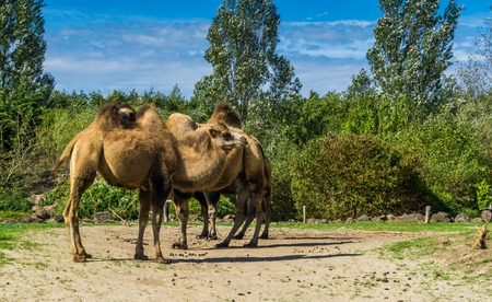 group of double bumped camels standing together in a nature landscape
