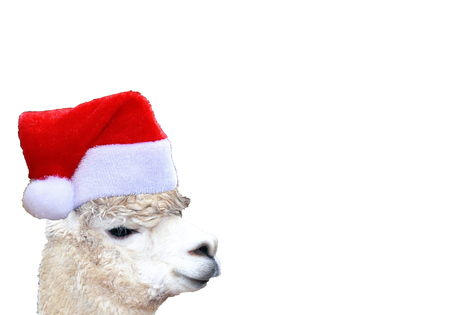 Christmas funny alpaca head wearing a santa claus hat isolated on a white background