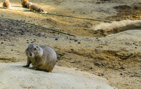 Cute prairie dog on a rock adorable rodent animal portrait in closeup Imagens