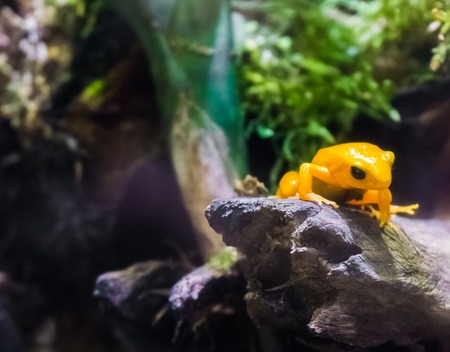 Yellow poison dart frog sitting on a branch very dangerous poisonous small tiny amphibian from america 写真素材