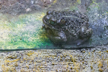 bufo toad with a a green in closeup amphibian forest animal portrait