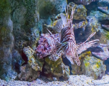 lionfish head a closeup from the front a dangerous and venemous aquarium pet from the tropical ocean