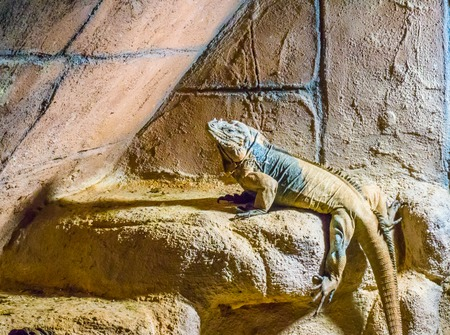 Rhinoceros iguana a horned and threatened tropical wild reptile animal from the caribbean