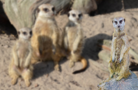 funny meerkat standing on a tree stump with his meerkats family in the background