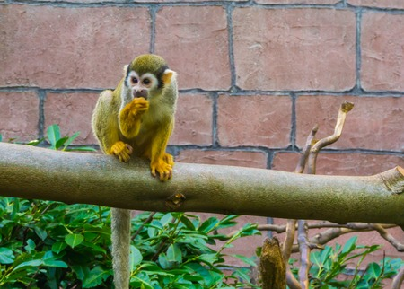 adorable common squirrel monkey sitting on a branch sucking his thumb