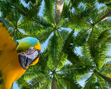 funny blue and yellow macaw parrot isolated on a beautiful tropical background with palm trees