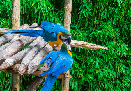 two blue and yellow macaw parrot birds playing or fighting by putting their beaks into each other
