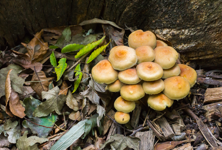cluster of sulphur tuft mushrooms also known as the clustered woodlover in autumn season in the forest