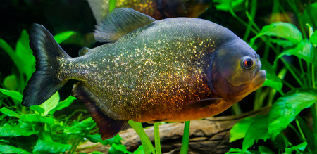 a closeup of a red bellied piranha, a colorful fish with glittery scales in the colors gold,orange and red.