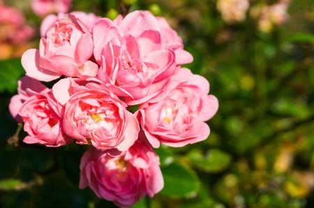Pink the fairy roses in macro closeup, a beautiful garden rose(rosa polyantha)
