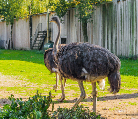 animal portrait of a female common ostrich, a big flightless bird from Africa Stok Fotoğraf