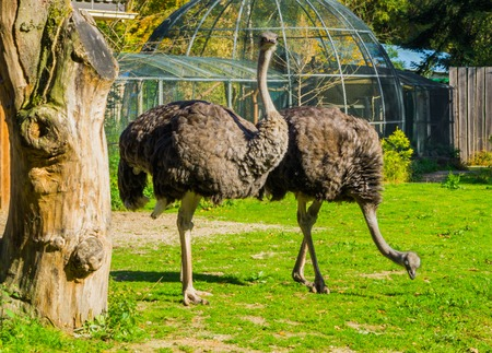 two female common ostriches standing in the grass and one looking towards the camera