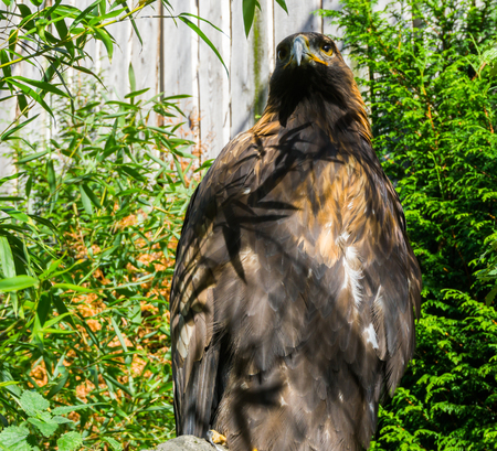 brown steppe eagle in closeup, a endangered big bird from europe.