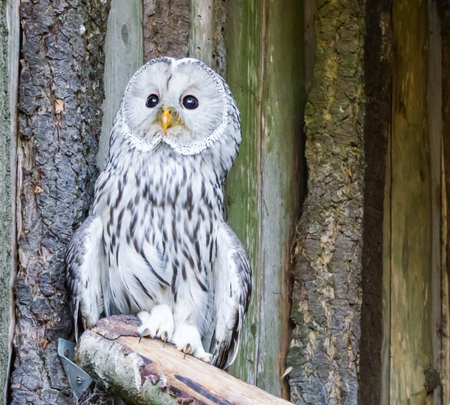 closeup portrait of a ural owl, a aggressive bird from europe that will attack humans in its territory