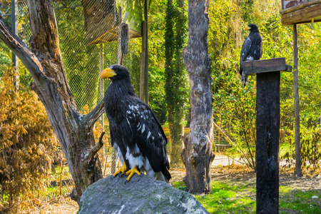 stellers sea eagle sitting on a rock with another sea eagle in the background, threatened bird of prey from japan